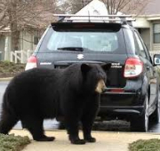 Warning From the Sheriff's Office: Black Bears on the Move in Fauquier County by Fauquier News Flash in Warrenton